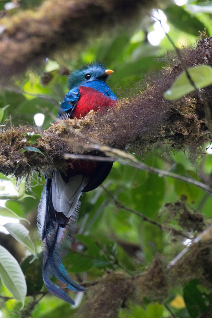 Quetzal (Pharomachrus mocinno) in Biologische Reservat Monteverde, Costa Rica