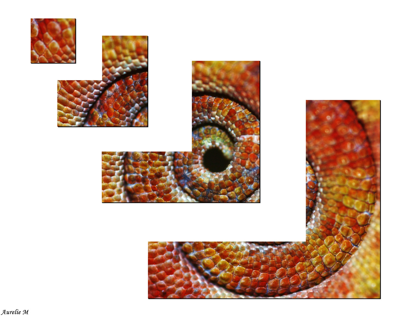queue de caméléon