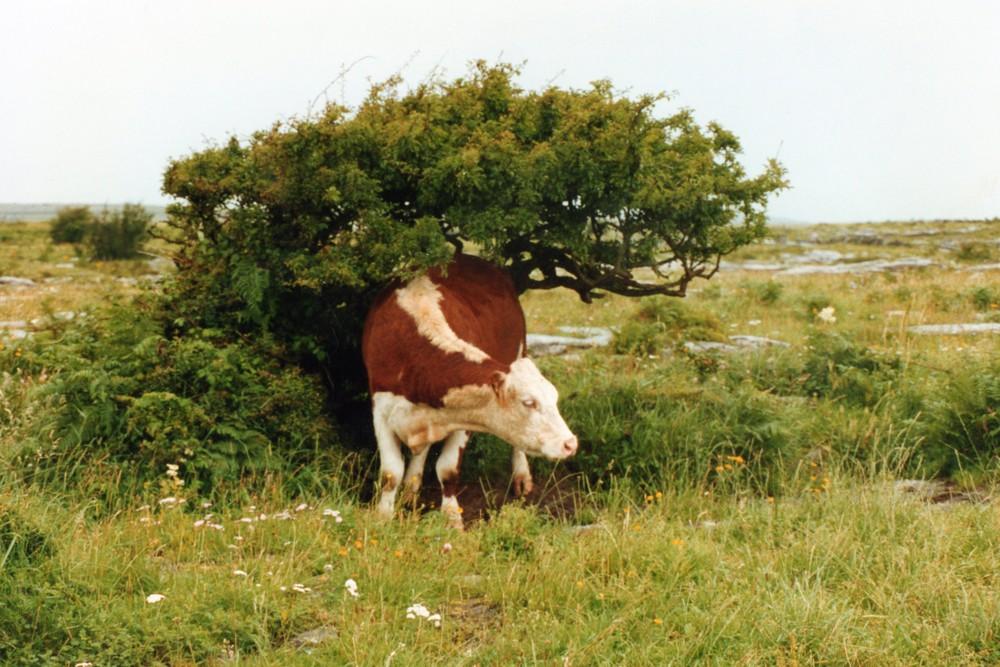 qui c'est cet etranger qui veux ma photo ? sympathique vache irlandaise