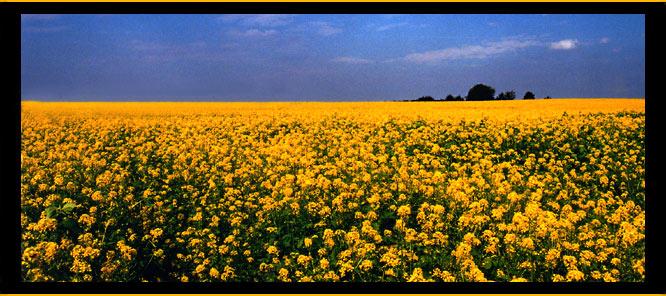 quite yellow