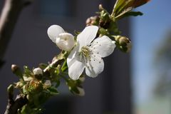 Quittenblüte und -knospen
