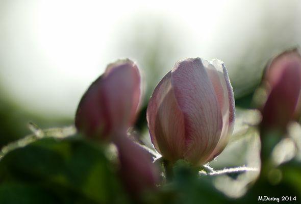 Quittenblüten