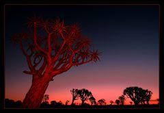 Quiver Trees @ Night