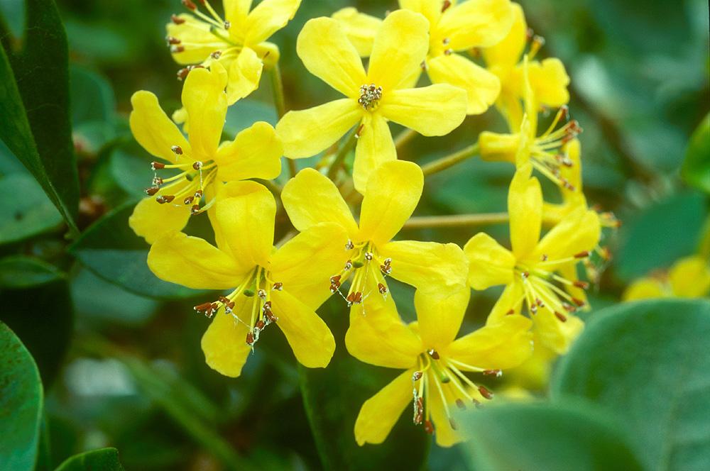 R. macgregoriae