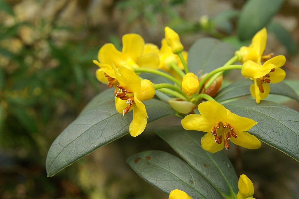 R. rushfortii