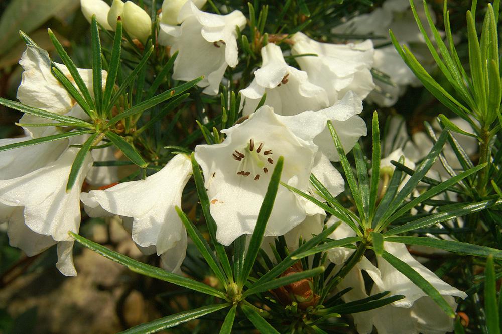 R. taxifolium