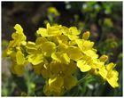 Rabattpflanze in voller Blüte