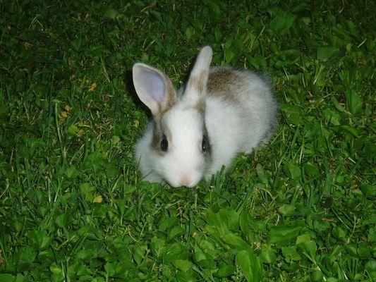 Rabbit in Parma (Italy)