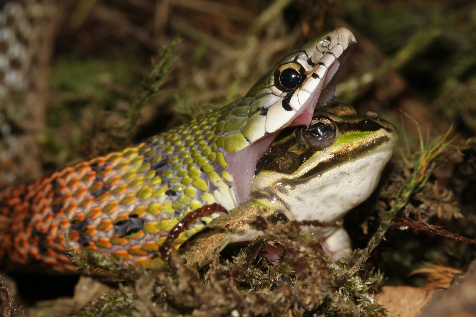 Rabdophis subminiatus