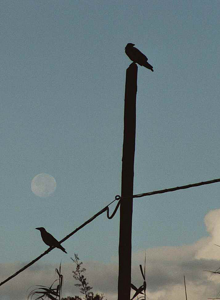 Raben unterm Mond