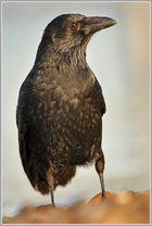Rabenkrähe (Corvus corone)