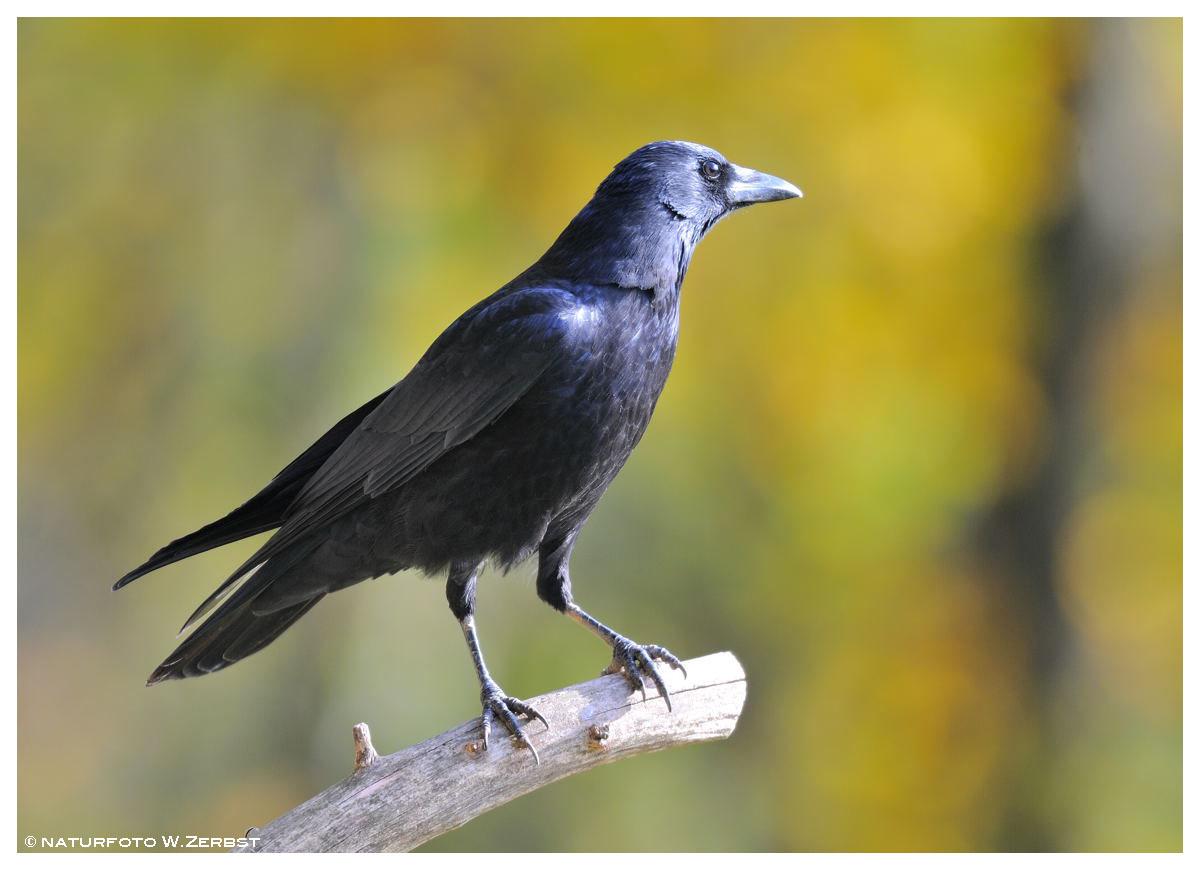 -- Rabenkrähe -- ( Corvus crone corone )