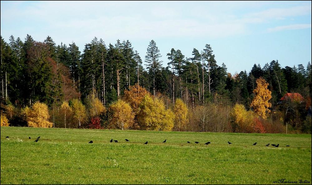 Rabenkrähen im Herbst ...