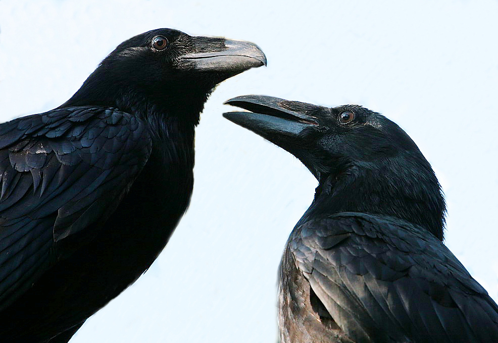 rabenpaar