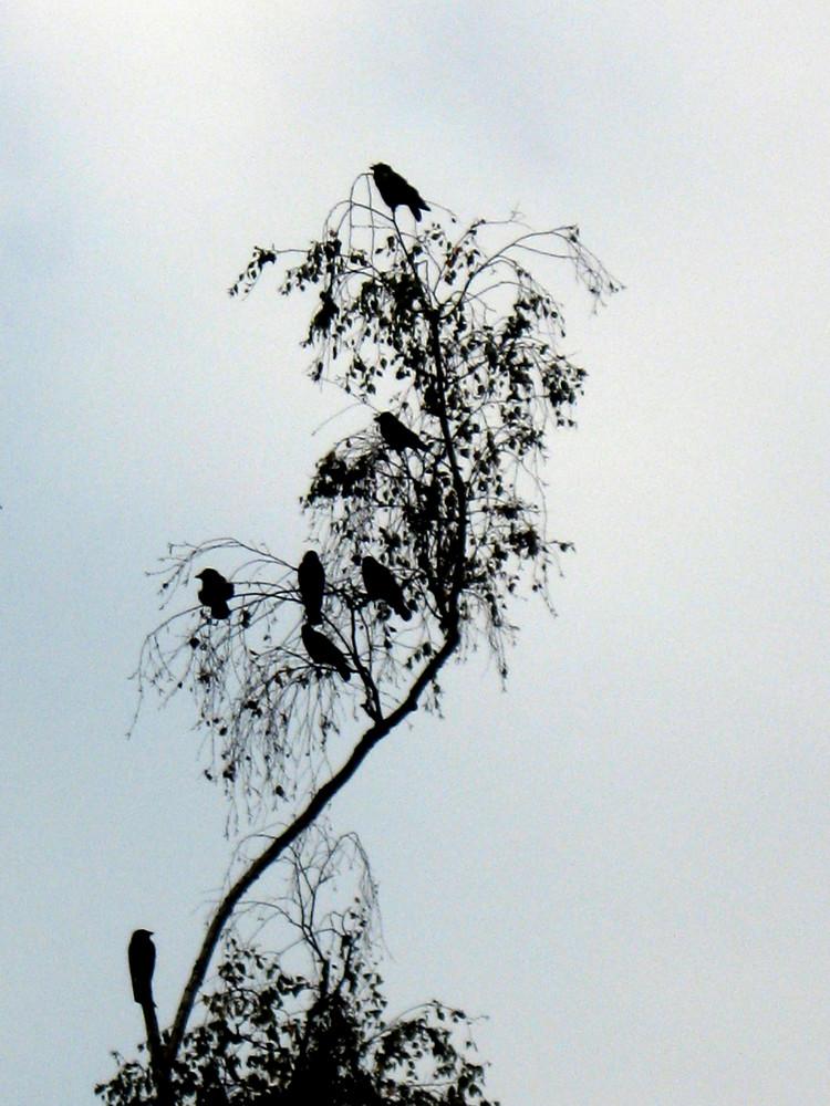 Rabentreffen auf dem Rabenbaum