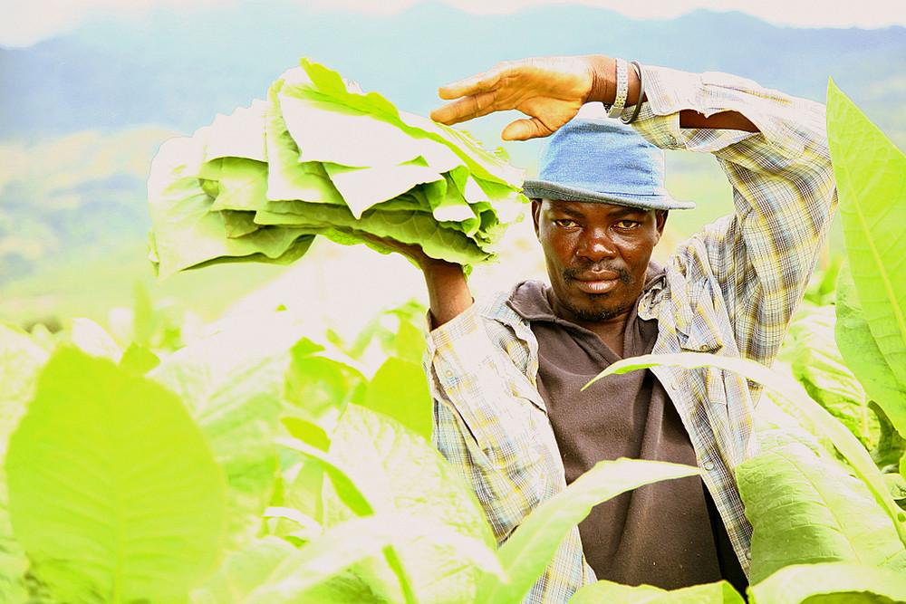 Raccoglitore di tabacco piantagione di Jime - Rep. Dominicana