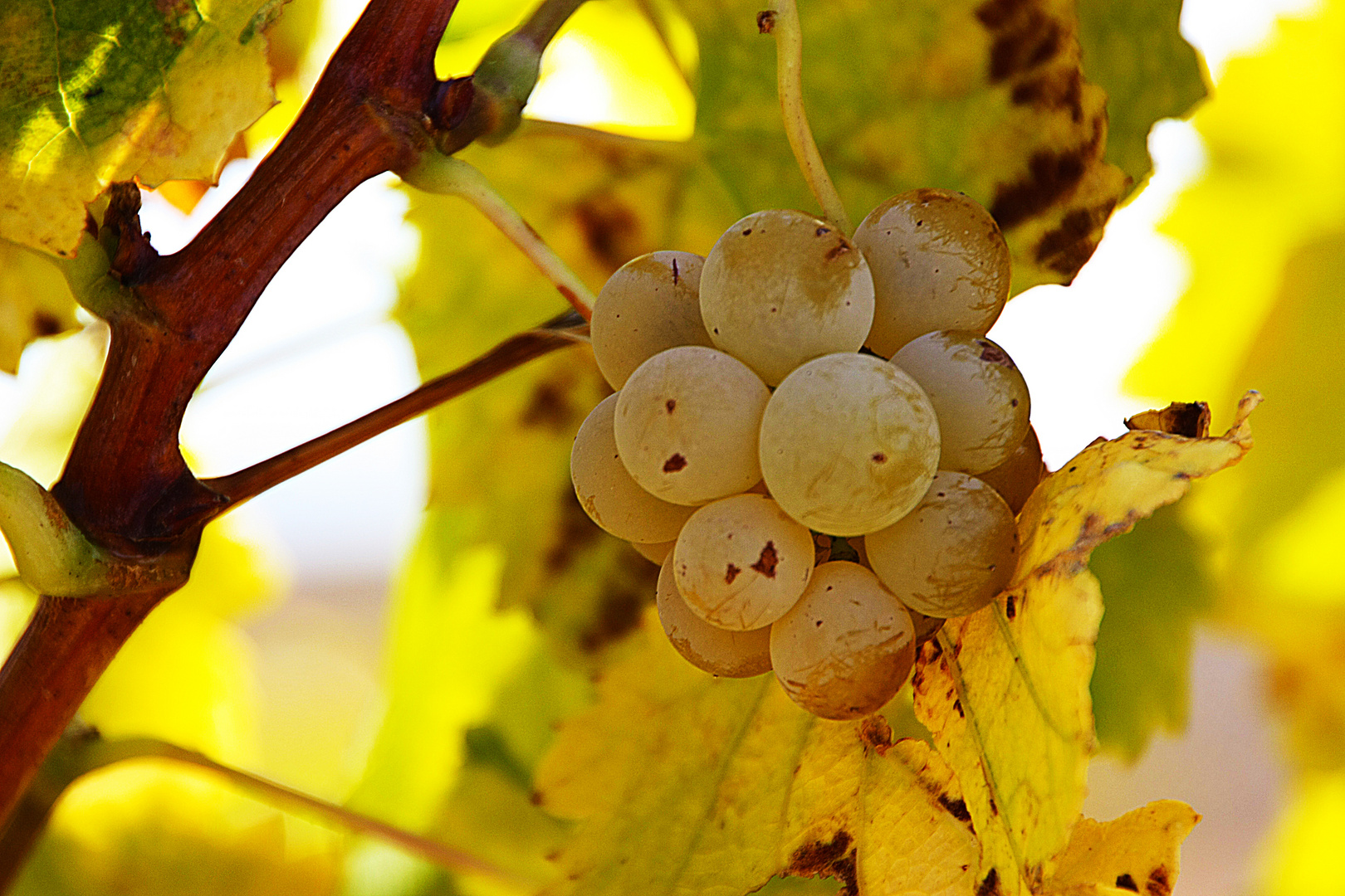 Racimo de uvas blancas - Bunch of white grapes