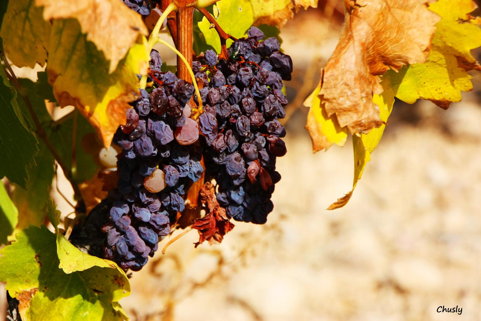 Racimo de uvas pasas - Bunch of raisins