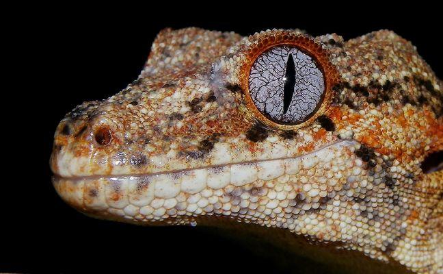 Racodactylus auriculatus