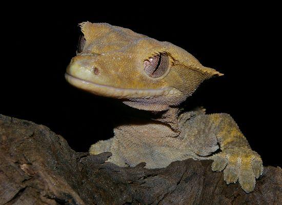 Racodactylus ciliatus