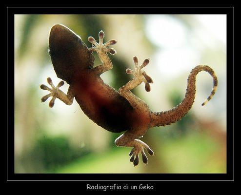 radiografia di un geko