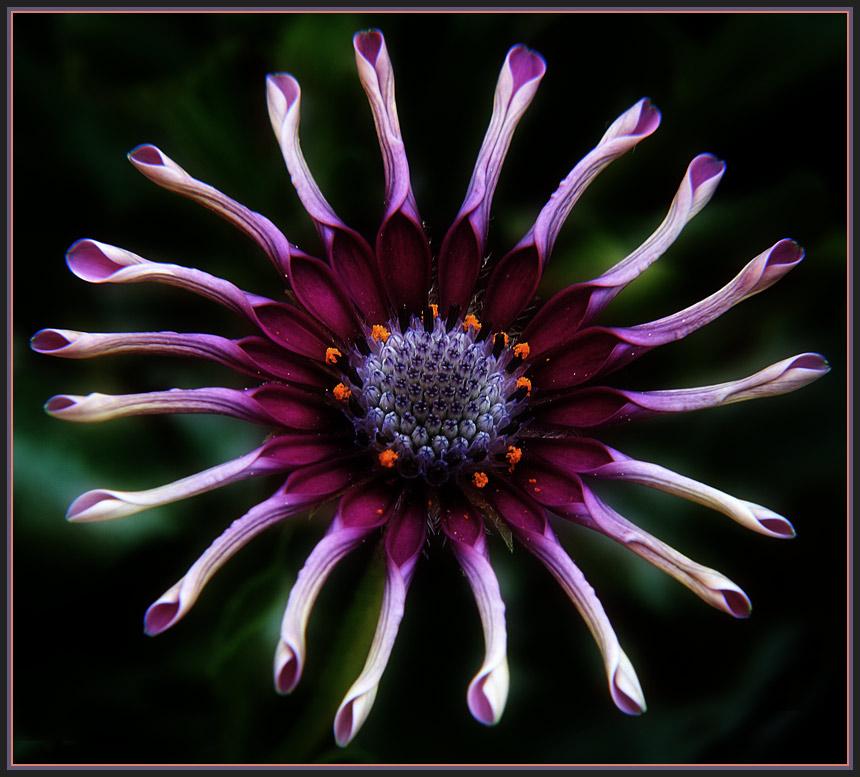 Radl-Blume