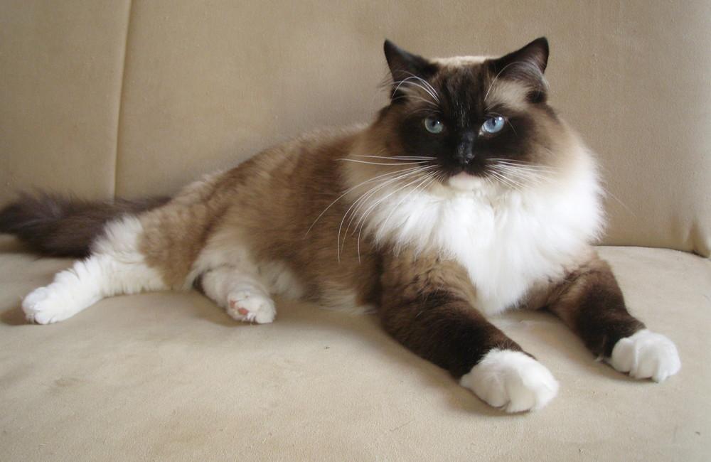 ragdoll foto bild tiere haustiere katzen bilder auf fotocommunity. Black Bedroom Furniture Sets. Home Design Ideas