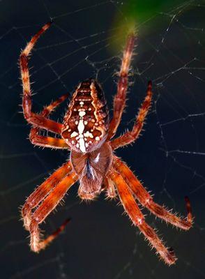 ragno crociato1