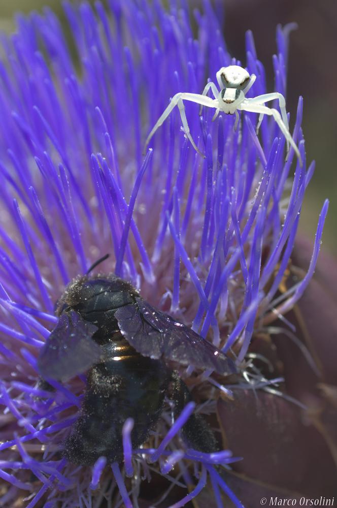 Ragno e Xilocopa Violacea