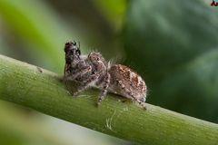 Ragno saltatore con preda