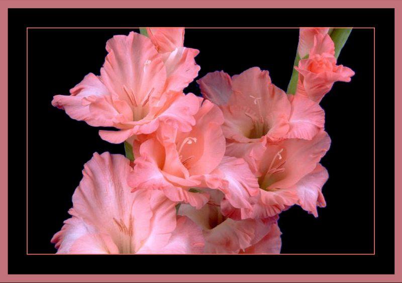Rahmenprojekt: Gladiolen