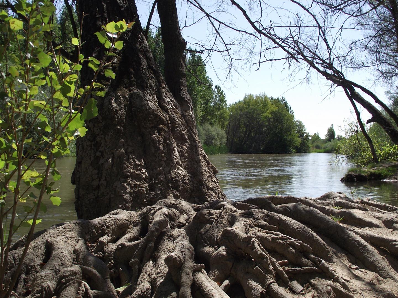 Raices junto al Rio Alberche (Toledo)