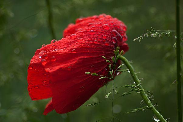 *** Rain Poppy ***
