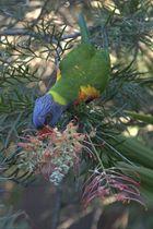 Rainbow Lorikeet in Sydney