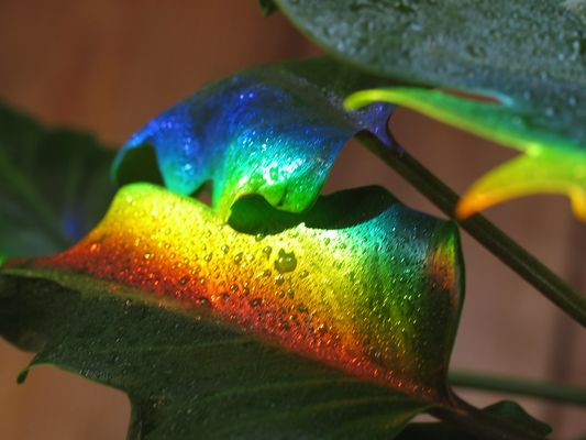 Rainbow on my Plant 2