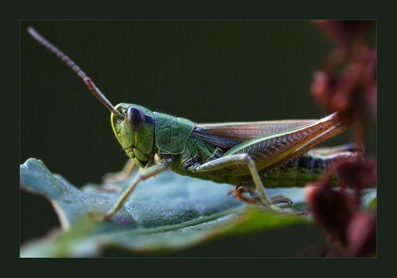 Rainbowhopper