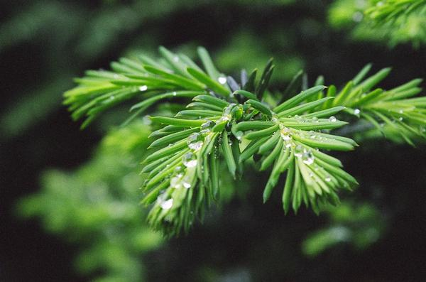 Raindrop on Japanese Yew