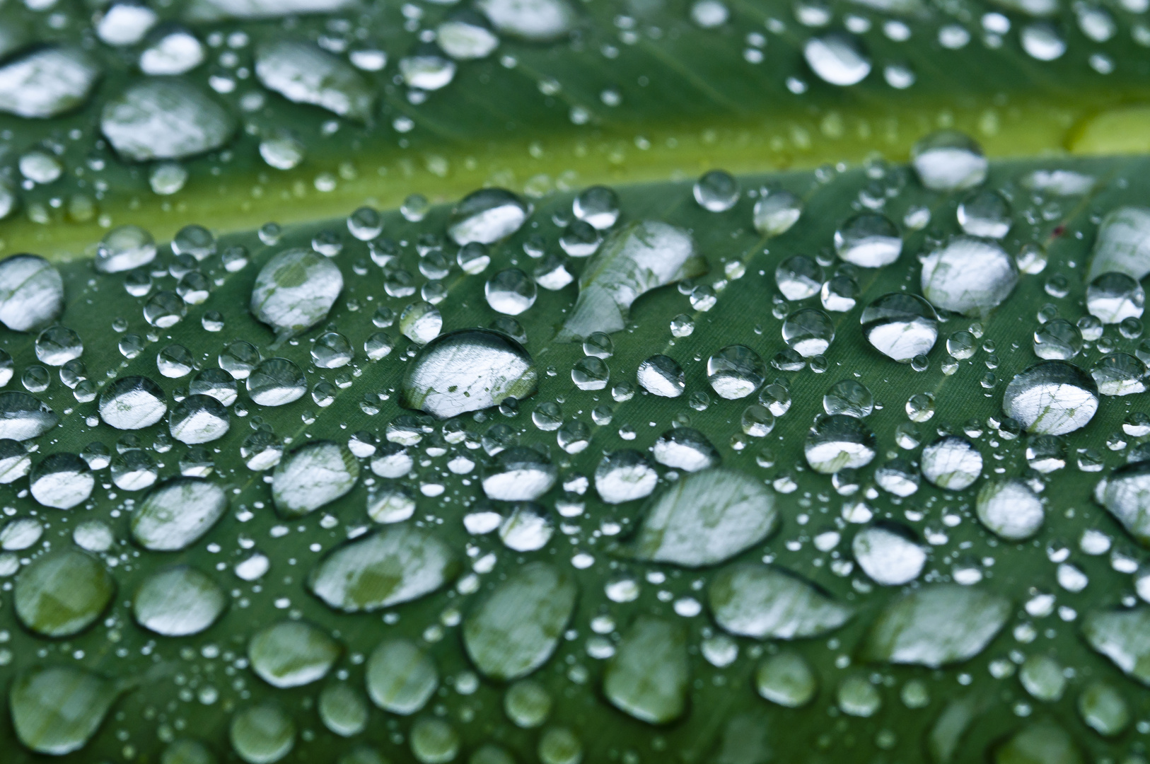 Raindrops keep falling on my leaves ....
