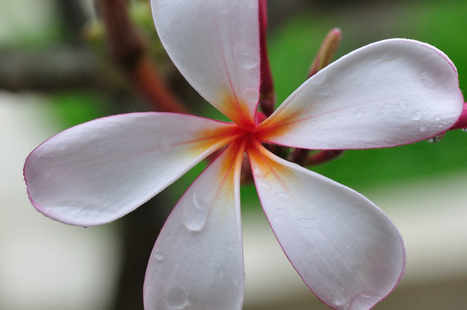 raindrops on magnolia blossom