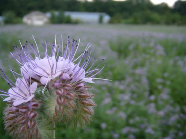 """""""Rainfarnblättriges Büschelschön"""", auch """"Borstiger Bienenfreund"""" genannt."""