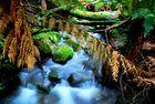 Rainforest in Tasmania