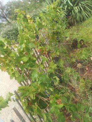 Raisins sauvages près de la mer .