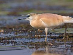Rallenreiher / Squacco heron