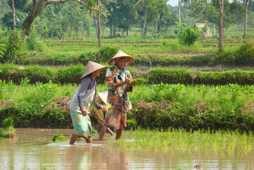 ramassage du riz