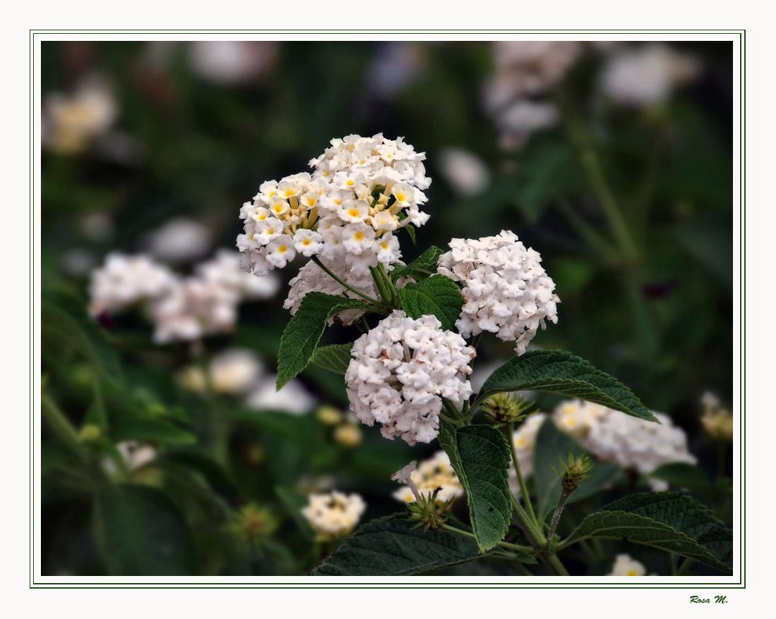 Ramillete blanco (Para Lola Díaz S.)