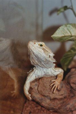 Ramirez the Barded Dragon