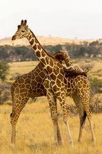 Rangkämpfe unter Giraffen