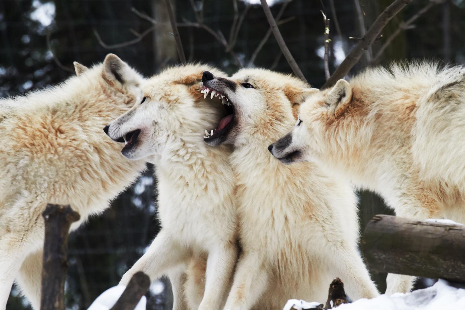 Rangordnung bei den Wölfen #2