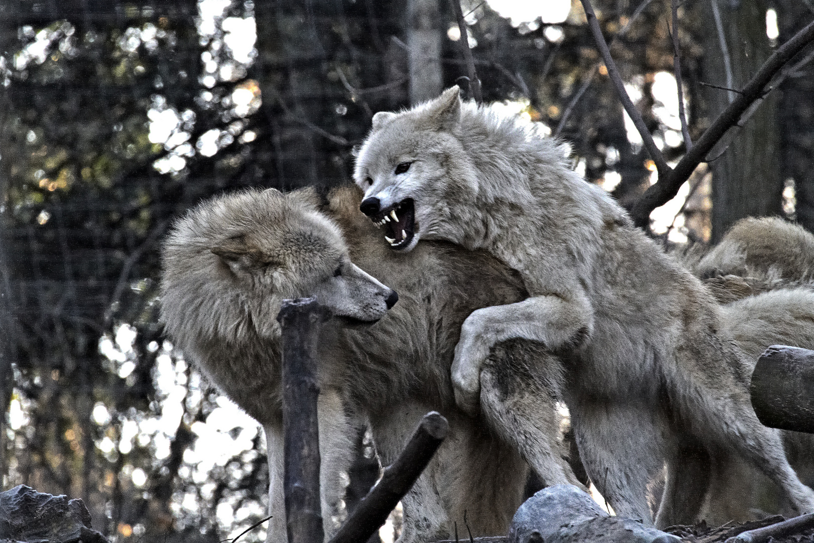 Rangordnung bei den Wölfen