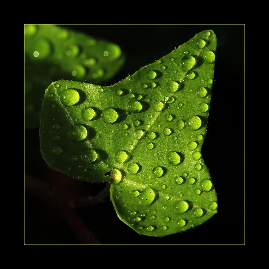 Rankenblatt im Regen